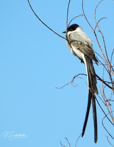 Fork-tailed flycatcher2-3