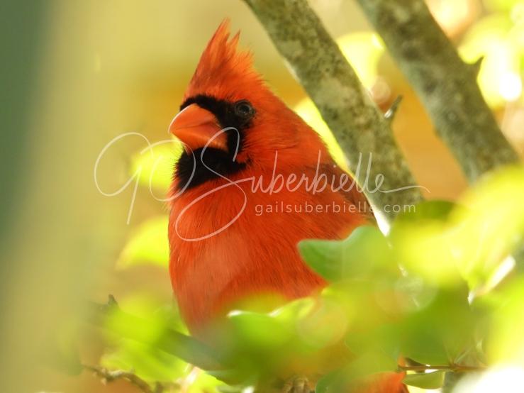 cardinal-in-sunlight